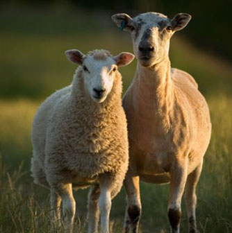 raw sheep2.jpg