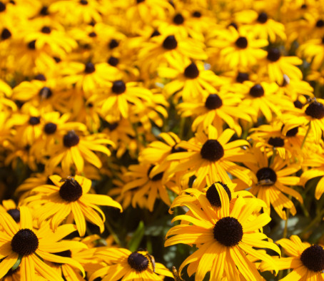 缩略图 | 免费快去!加拿大野生动物保护协会 免费赠送金光菊种子!