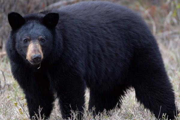缩略图 | 加拿大男子遭母熊袭击,靠装死躲过一劫!