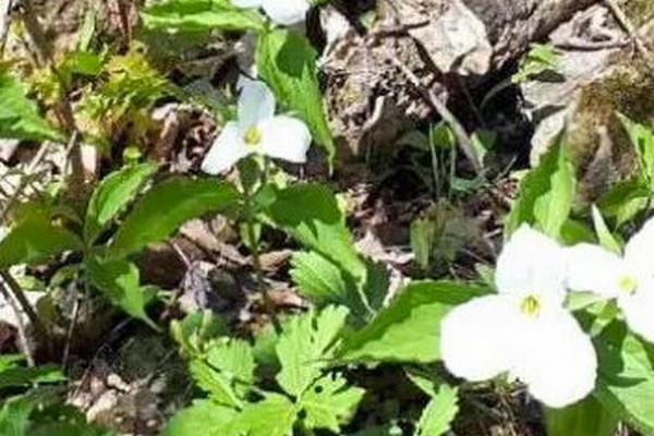 缩略图 | 在加拿大采了这种小白花要罚$500刀!路边的野花你不要采!