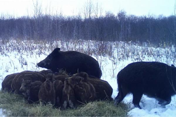 缩略图   野猪入侵加拿大国家公园,繁殖速度超快!