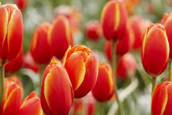 缩略图   你知道吗?加拿大的国花和各省省花分别是什么?