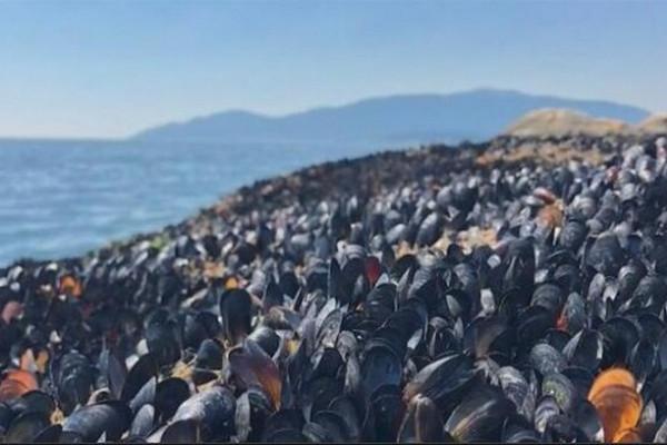 缩略图 | 加拿大遭遇极端高温,贝类在海滩直接被烤熟