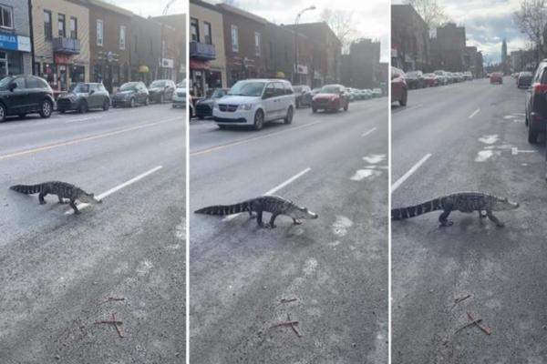 缩略图 | 蒙特利尔市区街头惊现鳄鱼,竟大摇大摆过马路!