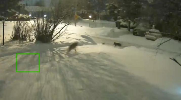 缩略图 | 小心!渥太华这个居民区狼出没!遇到郊狼请这样做!