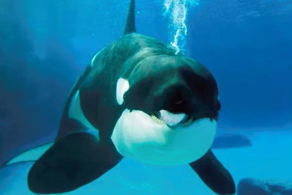 缩略图 | 超赞!加拿大立法禁止圈养鲸鱼、海豚,拒绝动物演出,他们也渴望自由!