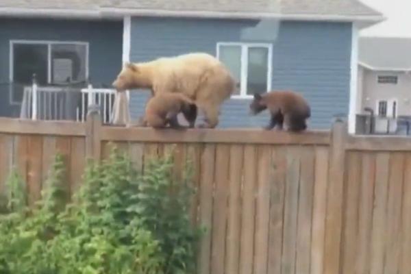缩略图 | 惨!加拿大一名女性和两名儿童露营被黑熊咬死了!