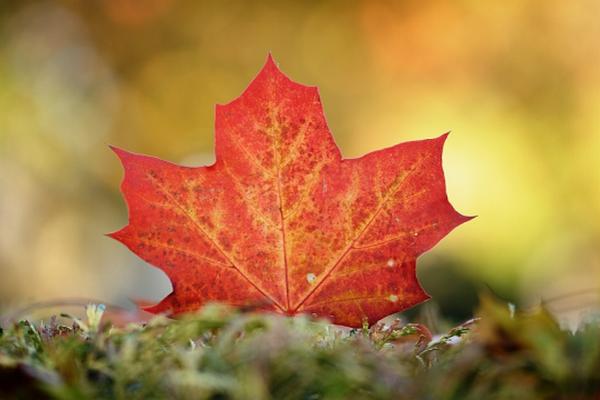缩略图 | 加拿大进入最美季节:省立公园报告,枫叶红透了!